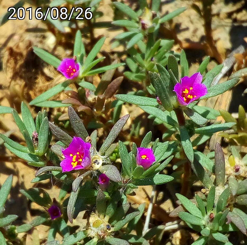 野生松葉牡丹 學名:wild Portulaca pilosa 英文名稱:kiss-me-quick and hairy pigweed.